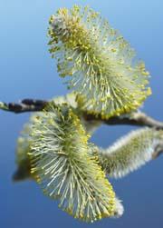 Blüte Allergie Allergen Allergiebehandlung